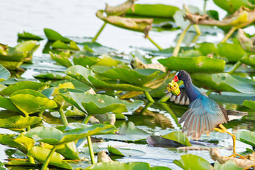 Purple Gallinule Hop by Natural Focal Point Photography