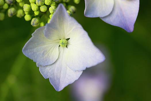 Purple Hydrangea Blossom by Mark Michel