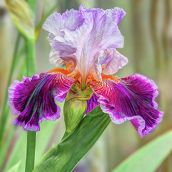 Purple Iris by Jerri Moon Cantone