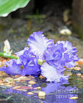 Purple Iris Reflection by Lila Fisher-Wenzel