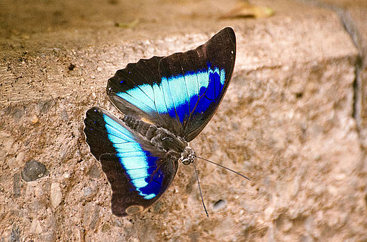 Purple King Shoemaker Butterfly by Cheryl Cencich