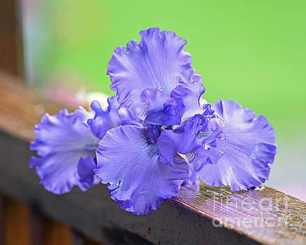 Purple by Lila Fisher-Wenzel