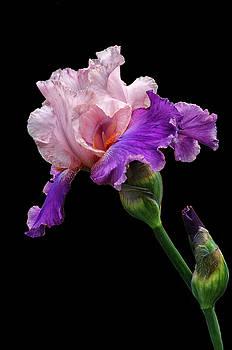 Purple Magic by Dave Mills