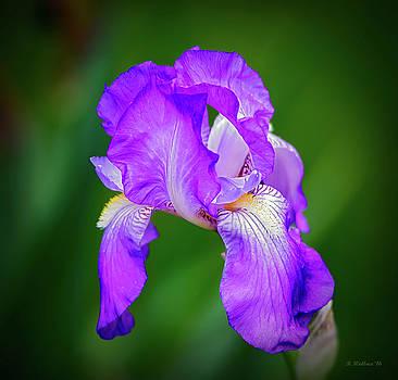 Purple Majesty by Brian Wallace