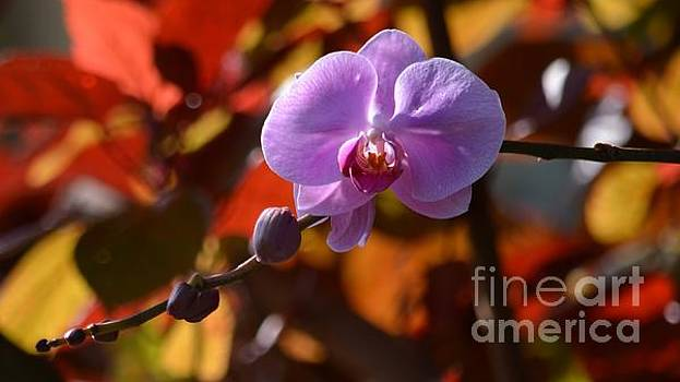 Purple Phalenopsis Orchid by Carol McGunagle