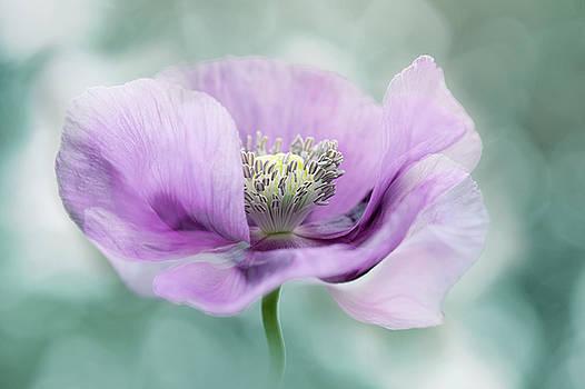 Purple Poppy by Jacky Parker