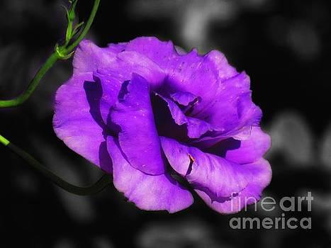 Purple rose by Rrrose Pix