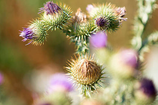 Purple Thistle by Sharon Wunder Photography