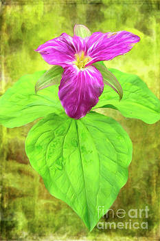Dan Carmichael - Purple Trillium Flower in the Blue Ridge AP