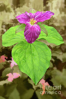 Dan Carmichael - Purple Trillium Flower in the Blue Ridge