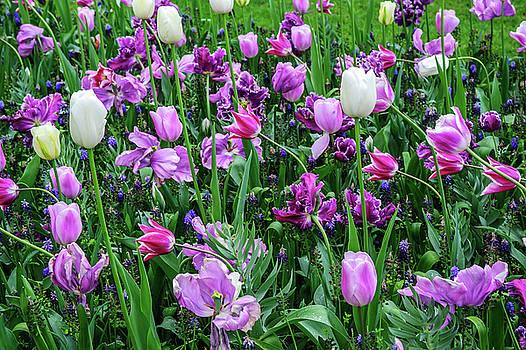 Purple Tulips in Keukenhof by Jenny Rainbow