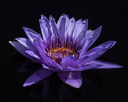 Purple Water Lily by Greg Thiemeyer