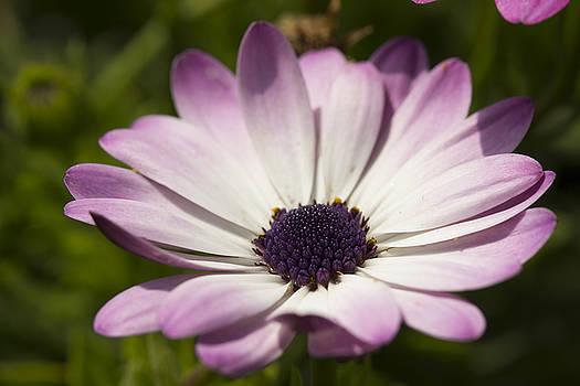 Purple-White Daisy by Mark Michel