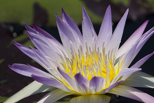 Purple-White Water Lily by Mark Michel