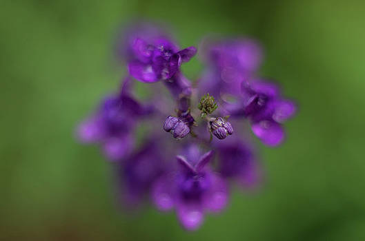 Marilyn Wilson - Purple Perennial Flower