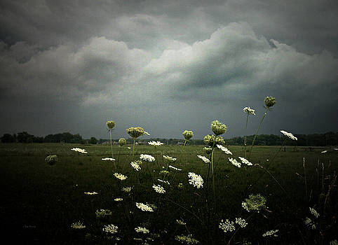 Queen Anne's Lace 2 by Cynthia Lassiter