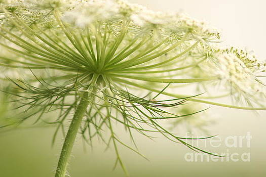 Queen Anne's Lace 3 by Cindi Ressler