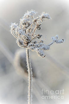 Queen Anne's Lace Covered in Frost by Tamara Becker