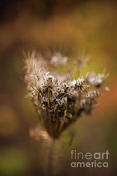 Queen Annes Lace in fall by Verena Matthew