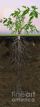 Queen Anne's Lace or Wild Carrot Daucus carota - Root System - C by Urft Valley Art