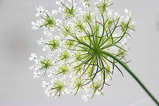 Queen Anne's Lace by Tammy Franck