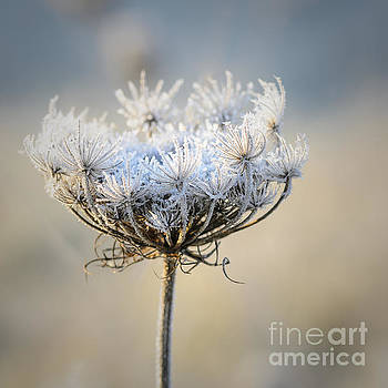 Queen Anne's Lace With Frost by Tamara Becker