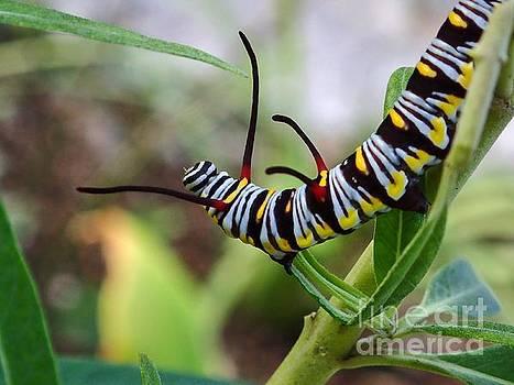 Queen Butterfly Caterpillar by Carol McGunagle