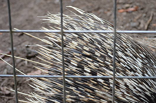 Quills of an African Porcupine by Linda Geiger