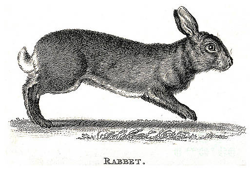 Wellcome Images - Rabbit Historical Illustration