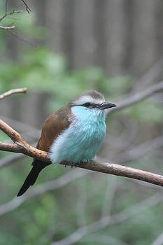 Racket-tailed Roller by Judy Whitton
