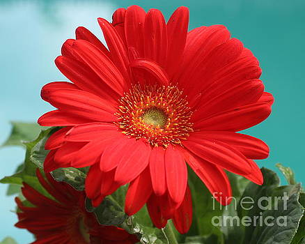 Radiant in Red - Gerbera Daisy by Dora Sofia Caputo Photographic Art and Design