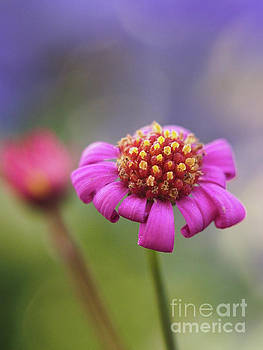 Radiant Magenta Flower Bud by Dorothy Lee