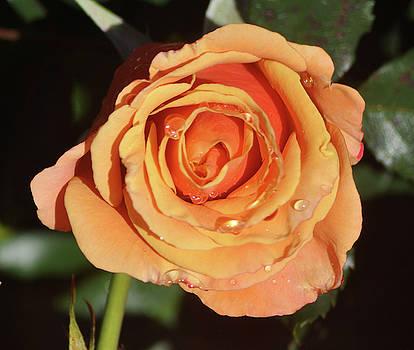 Rain Kissed Rose by Jay Milo