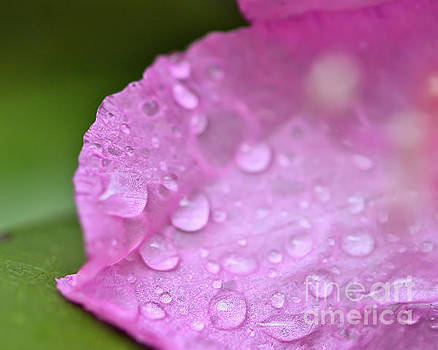 Rain on the Rhododendron by Kerri Farley