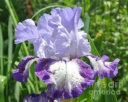 Rain Sun Iris by Marsha Heiken