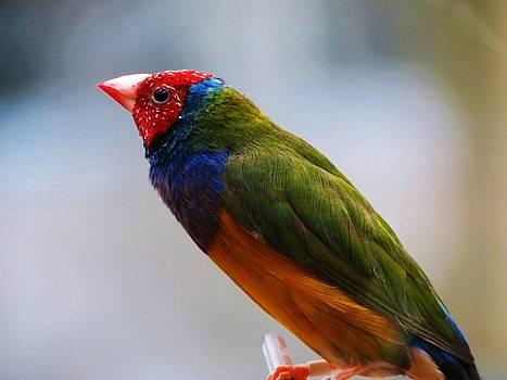 Rainbow Finch by Vijay Sharon Govender