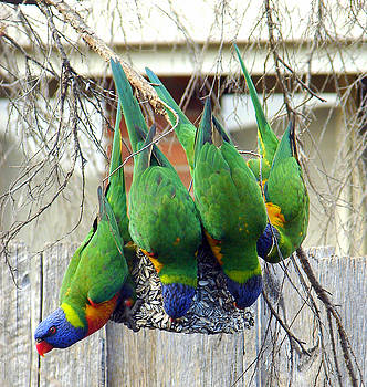 Rainbow Lorikeets by Fir Mamat