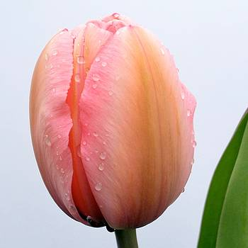 Raindrop Tulip by Sheila Price