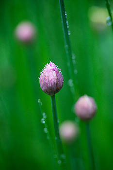 Raindrops on Chive Flowers by Jane Melgaard