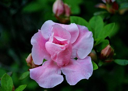 Raindrops On Pink Rose by Cynthia Guinn