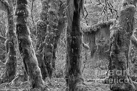 Adam Jewell - Rainforest Trunks Black And White