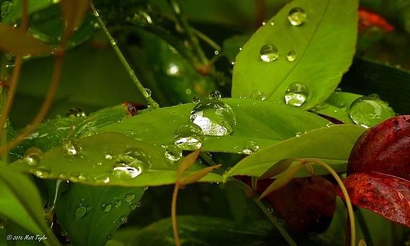 Rainy Nandina by Matt Taylor