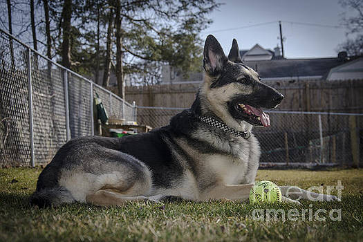 Ranger A German Shepherd by Jim Cook