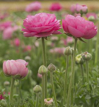 Ranunculus flowers by Jessica Nguyen