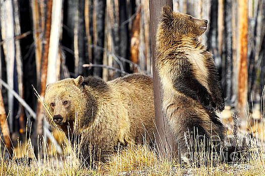 Raspberry and Snow Grizzlies by Bill Keeting