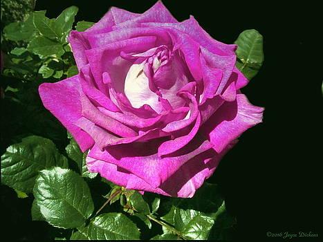 Joyce Dickens - Rays Purple Passion