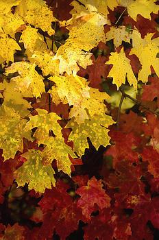 Saija  Lehtonen - Red and Yellow Maple Leaves