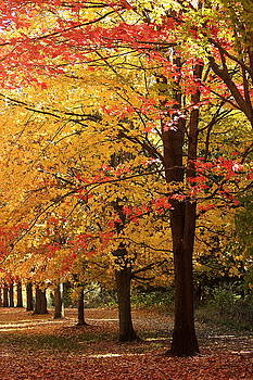 Rosanne Jordan - Red and Yellow Maples