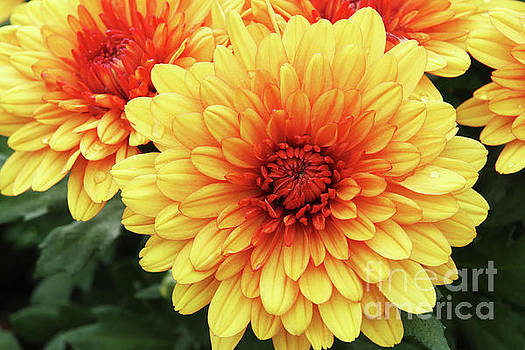 Red And Yellow Mums #2 by Judy Whitton