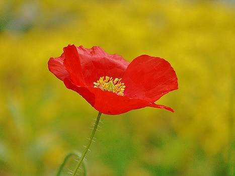 Red and Yellow Poppy by Barbara St Jean